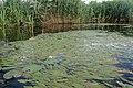 Potamogeton nodosus kz03.jpg