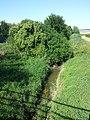 Potamogeton nodosus sl26.jpg