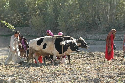 Potato farming in Afghanistan