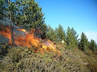 Controlled burn - A prescribed burn in a Pinus nigra stand in Portugal