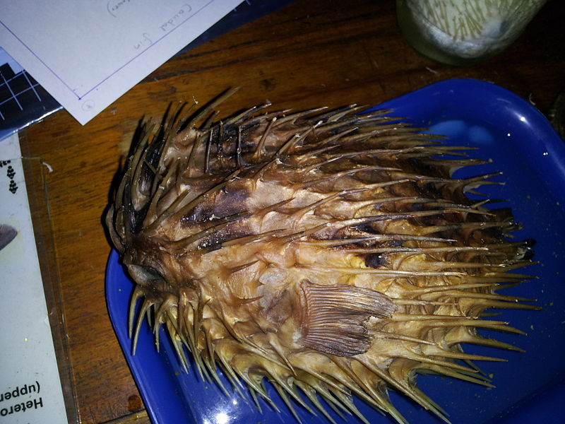 Preserved porcupine fish at a lab.jpg