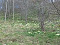 Primroses at Acton Bank - geograph.org.uk - 550351.jpg