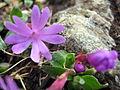 Primula integrifolia (4714714583).jpg