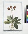Primula veris, flore geminato - Primula veris, floribus coccineis, umbellico aureo - Primavera - Primevere (NYPL b14444147-1125035).tiff