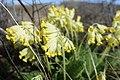 Primula veris (Latin) Common cowslip primrose (English) Marianøkleblom (Norwegian) Moutmarka Færder Oslofjorden Norway 2020-05-03 7181.jpg