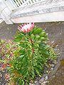 Protea cynaroides (Habitus).jpg