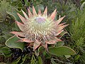 Protea cynaroides Hottentots Holland 01.jpg