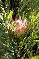 Protea repens (Proteaceae) (4575524073).jpg