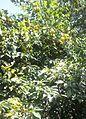 Prunus Vachuschtii (Tree).jpg