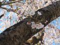 Prunus serrulata 2005 spring 011.jpg