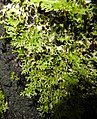 Pseudocyphellaria multifida2 by Peter de Lange.jpg