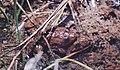 Pseudopaludicola ternetzi02.jpg