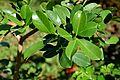 Psidium cattleianum in Jardin des Plantes de Toulouse 03.jpg
