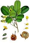 Pterocarpus santalinus - Köhler–s Medizinal-Pflanzen-114.jpg