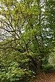 Pterocarya fraxinifolia - La Hulpe (3).JPG