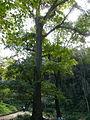 Pterocarya redheriana al jardí botànic vell P1250812.jpg