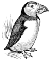 Puffin (PSF).png