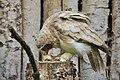 Pulsatrix perspicillata - Weltvogelpark Walsrode 2010-5.jpg