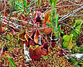 Purple Pitcher Plant (Sarracenia purpurea) (7411244072).jpg