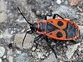 Pyrrhocoris apterus 10.JPG