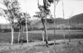 Queensland State Archives 4159 Field of maize Imbil Mary Valley District c 1930.png