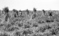 Queensland State Archives 4247 Sudan grass in stook State Farm Gindie Central Queensland c 1933.png