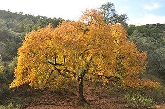 Quejigo Sierra de Aracena y Picos de Aroche.jpg