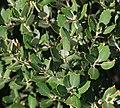 Quercus cf. ilex - Flickr - S. Rae.jpg