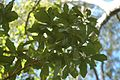 Quercus chapmanii (23514994424).jpg
