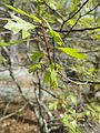 Quercus georgiana red twig in early spring 01.jpg