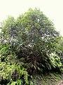 Quercus glauca - Miyajima Natural Botanical Garden - DSC02386.JPG