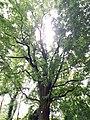 Quercus robur (Sommer Eiche, Stiel-Eiche) im Park am Stichkanal in Berlin-Köpenick.jpg
