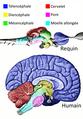 Régions cérébrales des vertébrés.png