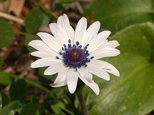 Anemone hortensis - Flower of Anemone hortensis