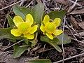 Ranunculus glaberrimus (5384211925).jpg