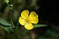 Ranunculus lingua A.jpg