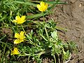 Ranunculus sardous.jpeg