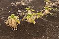Raphanus sativus var. longipinnatus 02.jpg
