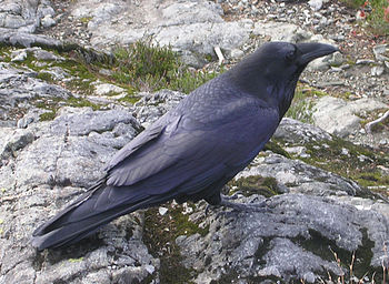 A Common Raven at Cypress Provincial Park, Bri...