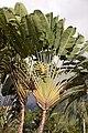 Ravenala madagascariensis D.jpg