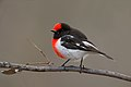 Red-capped Robin (Petroica goodenovii) (42392132735).jpg