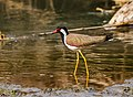Red-wattled lapwing (Vanellus indicus) 2019 014.jpg