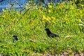 Red-winged blackbird (41446163775).jpg