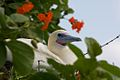 Red Footed Booby (5295760032).jpg