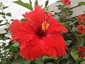 Red Hibiscus (6740163555).jpg