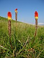 Red Hot Pokers - geograph.org.uk - 183885.jpg
