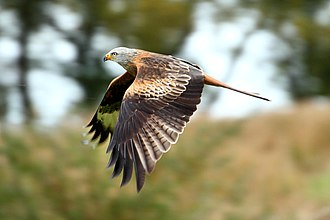 Black Hill (Herefordshire) - Side view of adult Red Kite, Wales