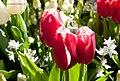 Red and white tulips - panoramio (1).jpg
