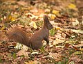 Red squirrel (38024157374).jpg