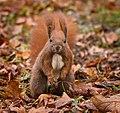 Red squirrel (49428518062).jpg